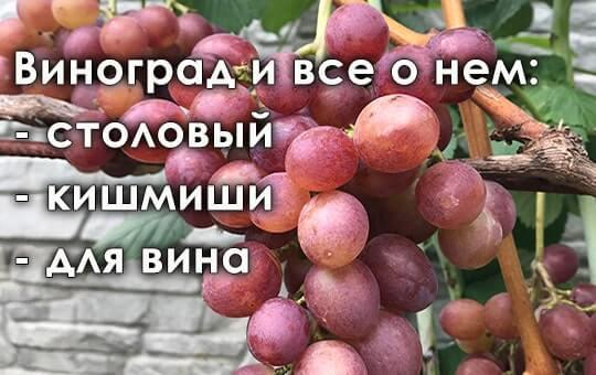 Купить лозу винограда в дубае сколько стоит жилье в греции