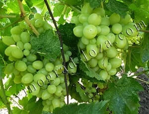 Сорт винограда Продюсер описание фото отзывы