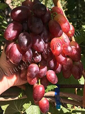 Сорт винограда Магистр описание фото отзывы