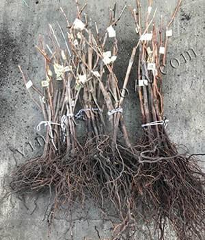 Как подготовить корнесобственные саженцы винограда к посадке фото
