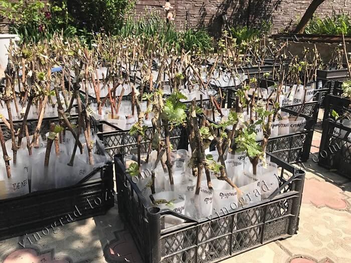 Вегетирующие саженцы винограда посадка и уход