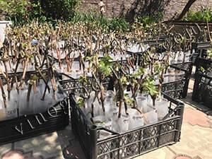 Как подготовить вегетирующий саженец винограда к посадке фото