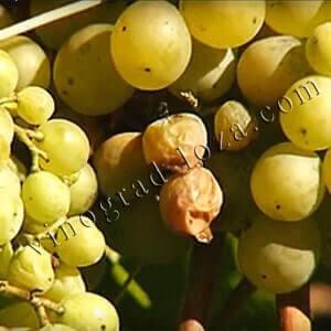 Препараты от серой гнили на винограде фото