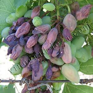 Чем обработать виноград от серой гнили фото